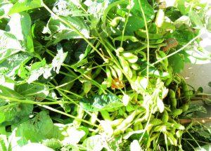 食べ頃の枝豆いっぱい