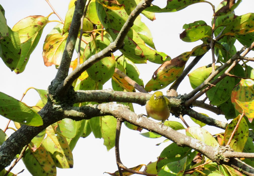 メジロと柿の木
