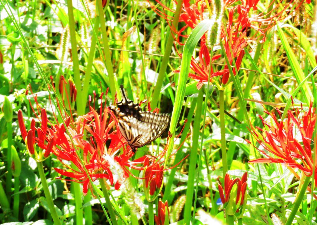 アゲハ蝶と曼殊沙華