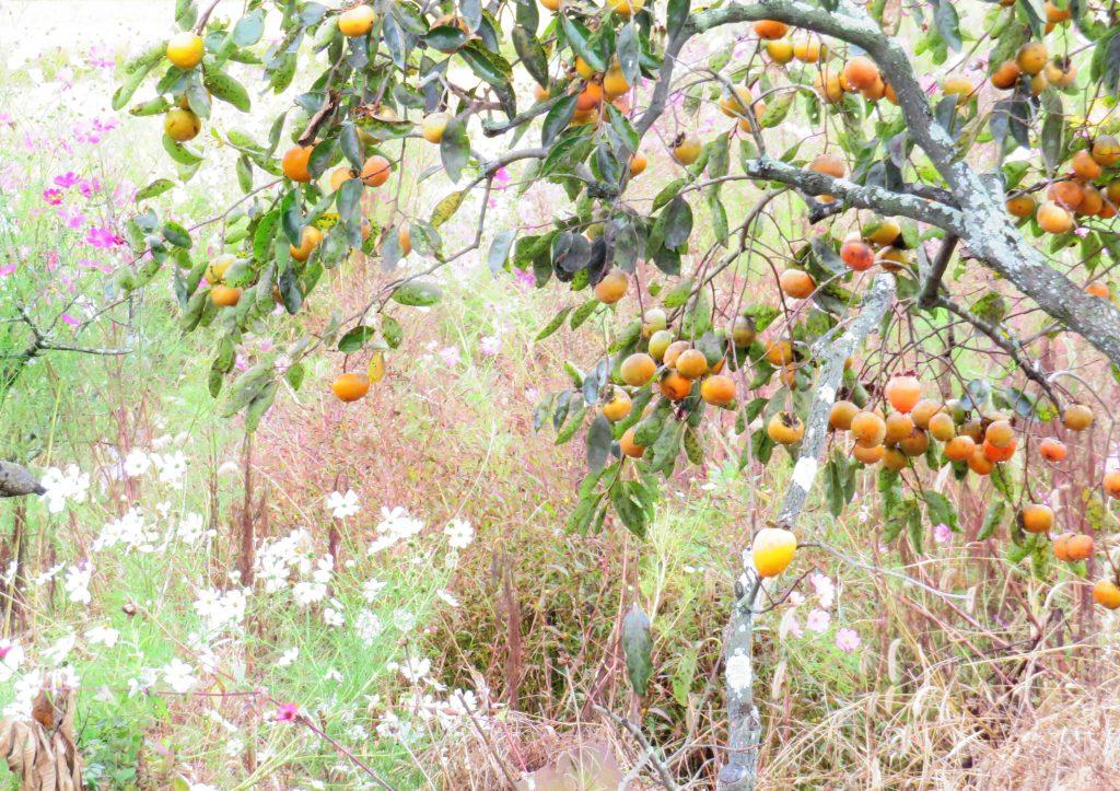 柿の実とコスモス