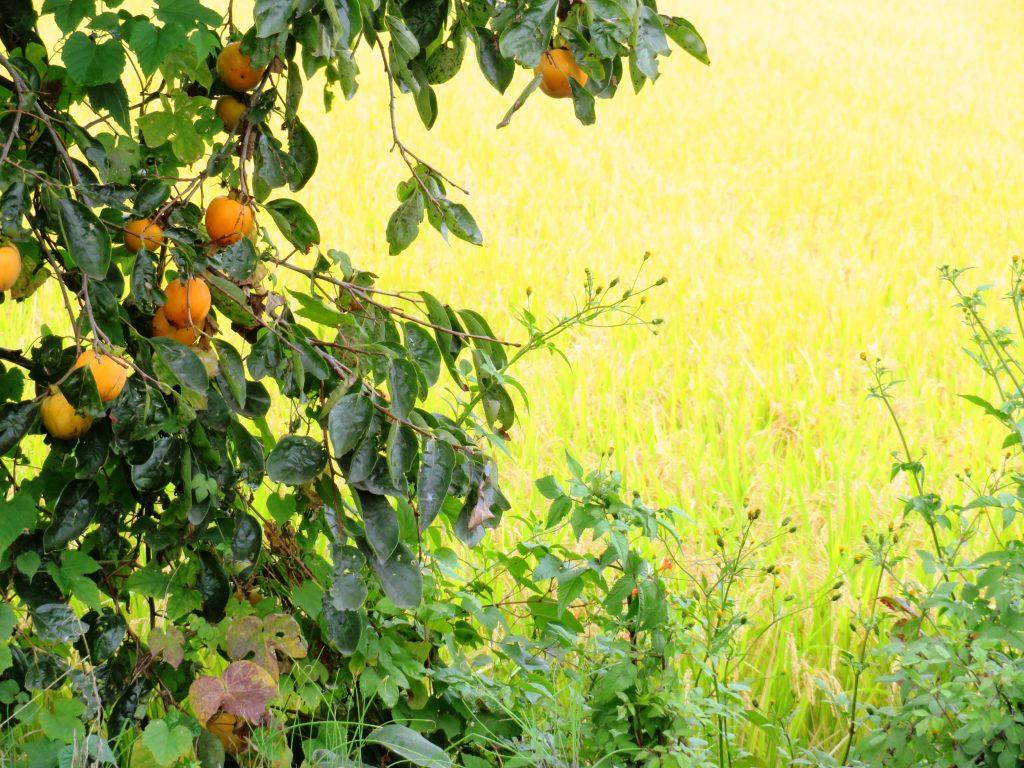 柿の実と稲穂