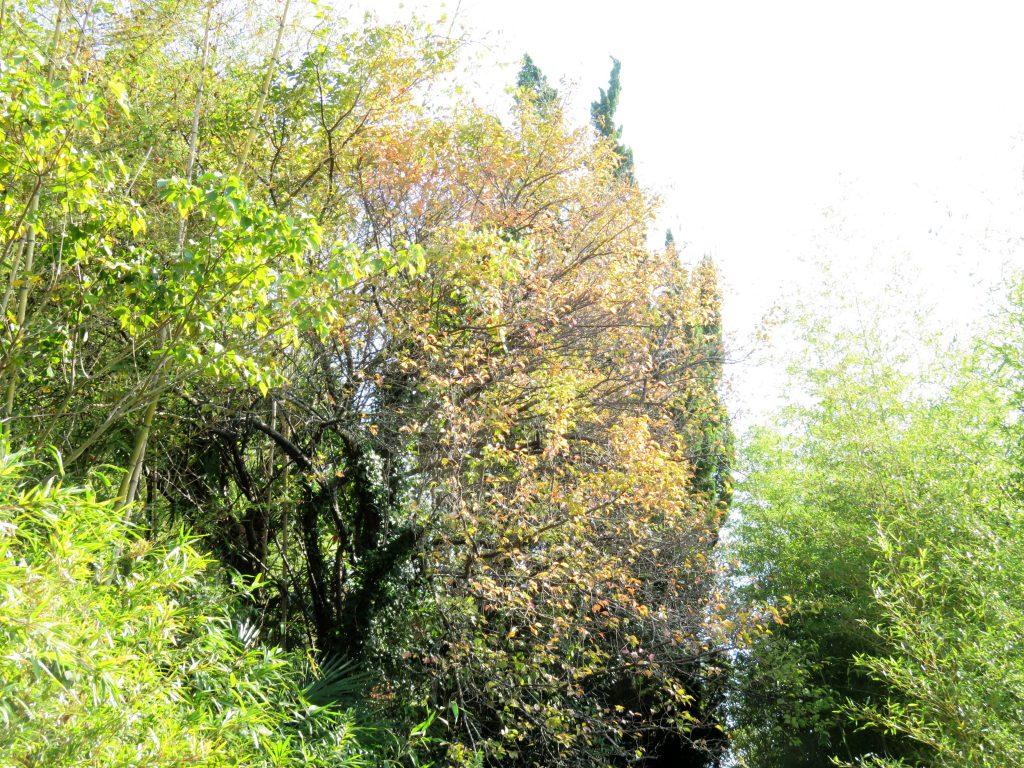 梅の木の紅葉