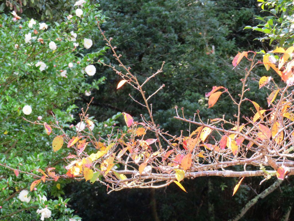 桜の紅葉と山茶花