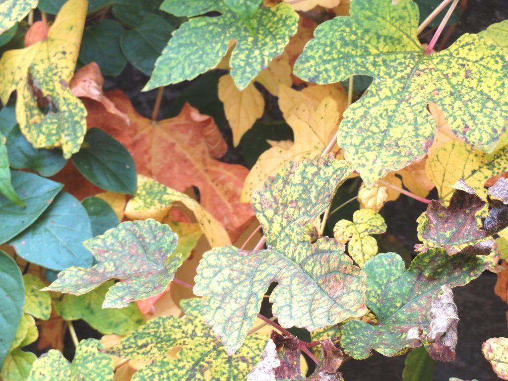 山葡萄の黄葉