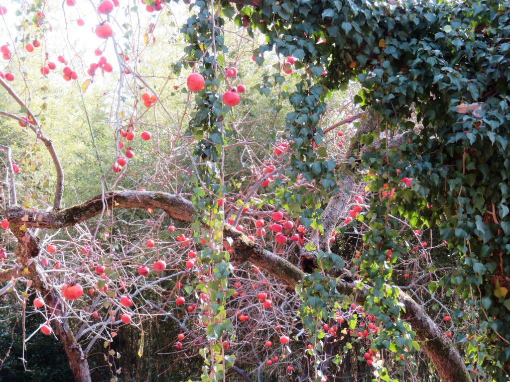 蔦と残り柿