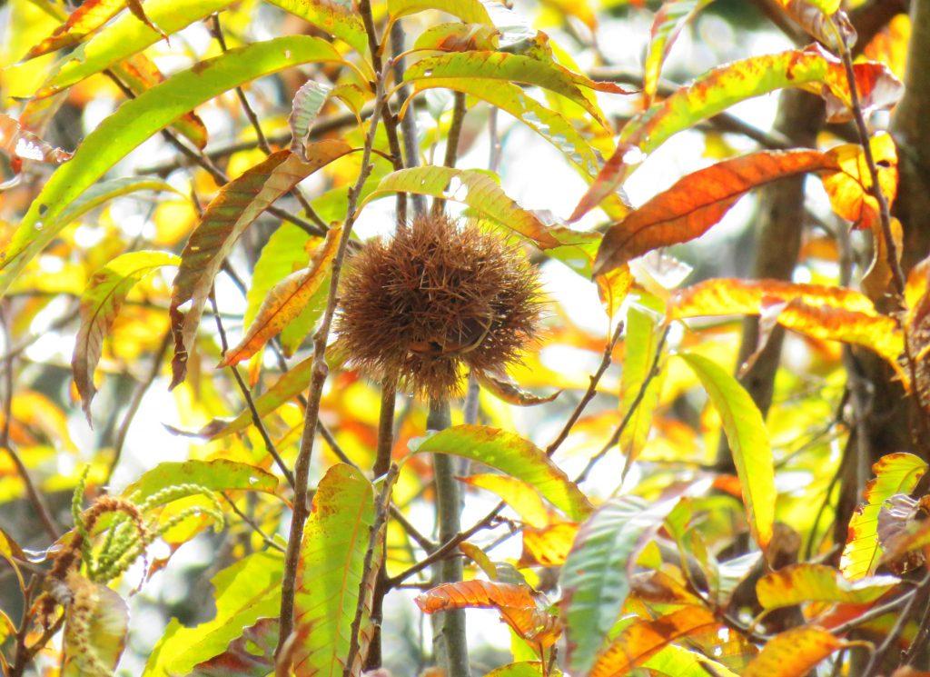 栗の木の黄葉