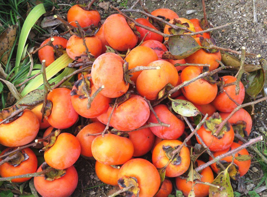我が家の柿(52個)