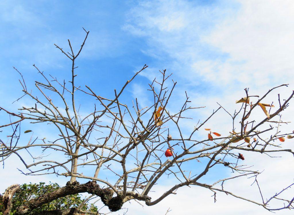 収穫を終えた柿の木