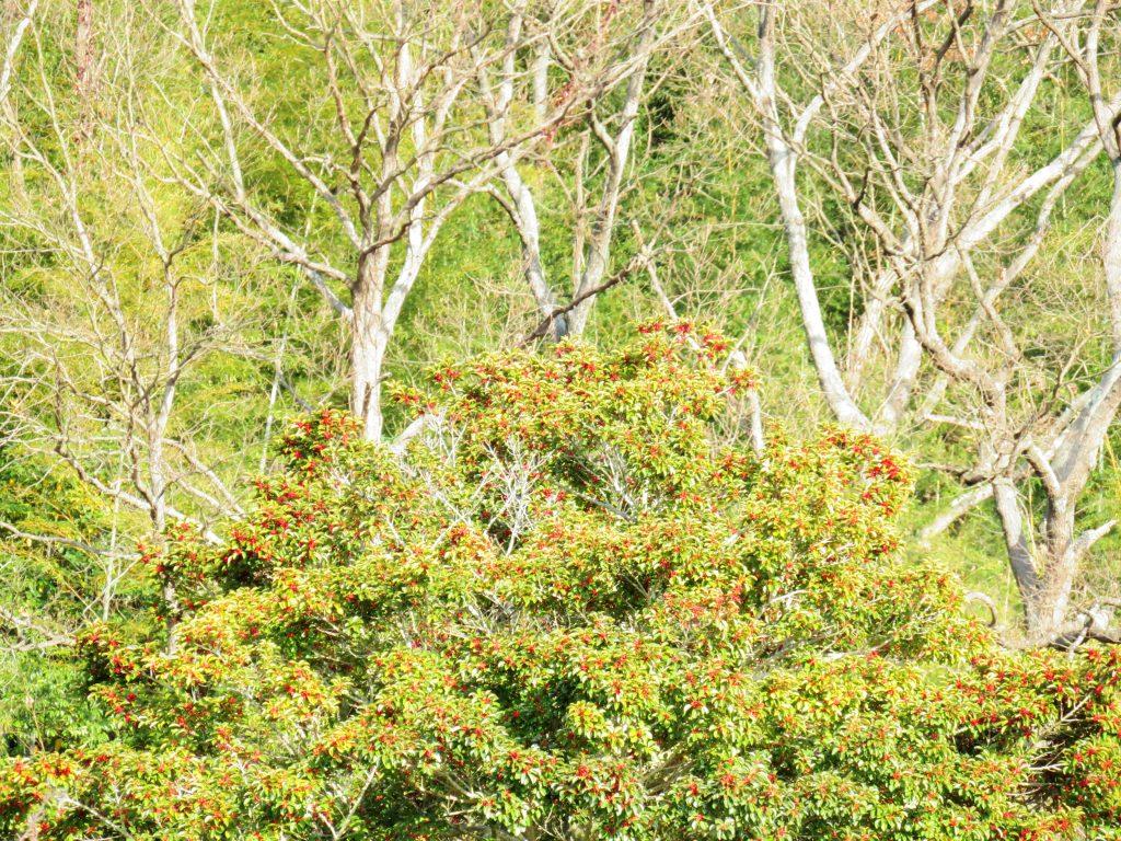 クロガネモチと山の木々