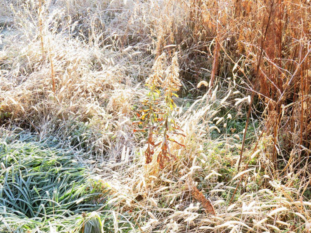 霜の降りた冬の草叢