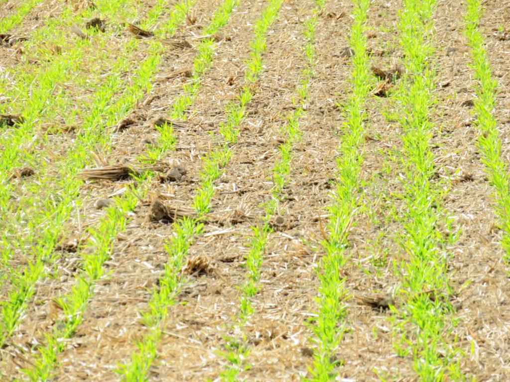 麦の芽吹き