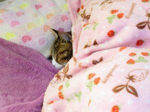 ねこ、風太 ベッド