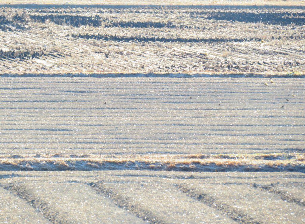霜の降りた冬の田んぼ