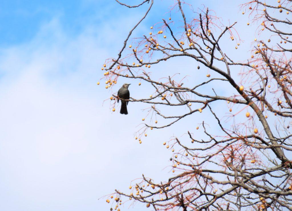 栴檀の実と鳥