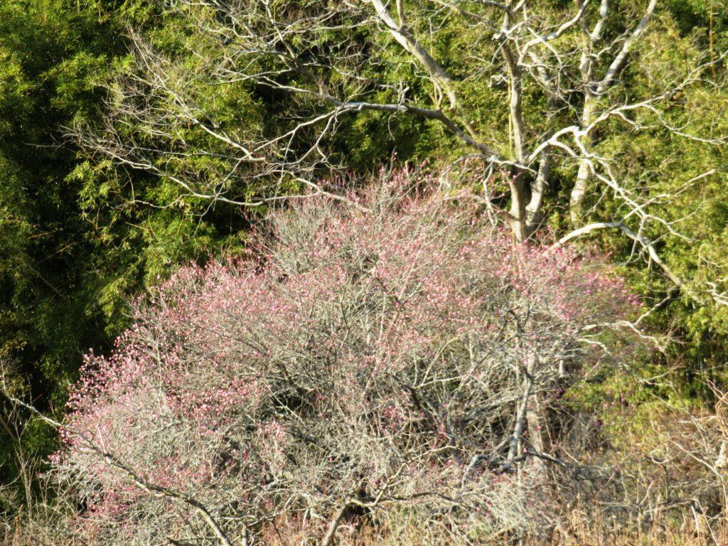 早春の田舎 紅梅