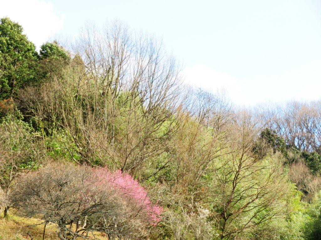 早春の山 紅梅と白梅