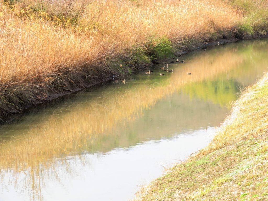 春の川と鴨