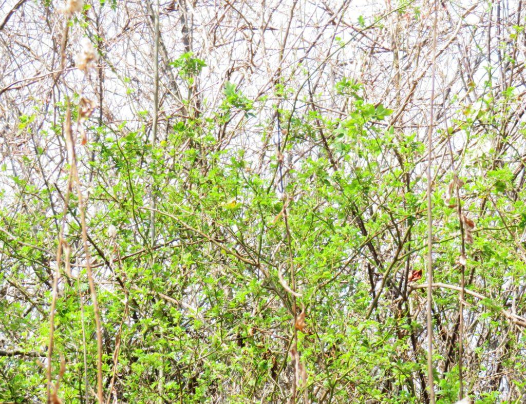 野茨の芽吹き