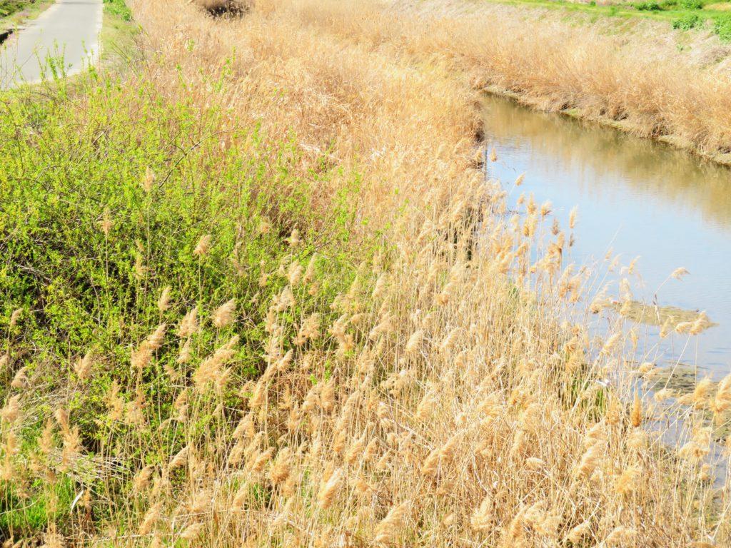 カワヤナギの花