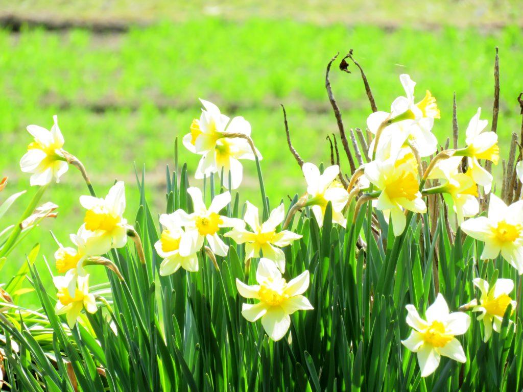 春の田舎 ラッパ水仙