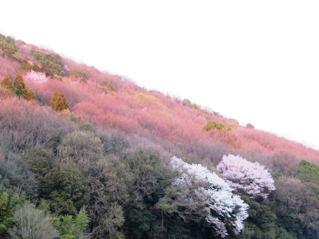 夕刻の山桜