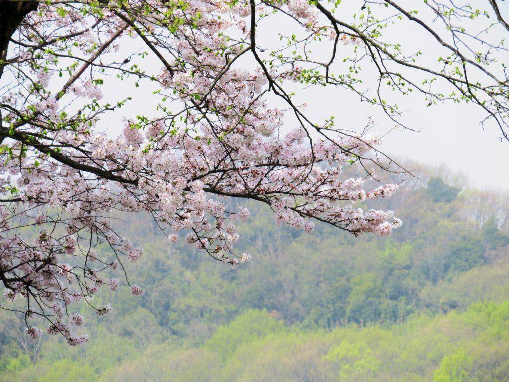 桜と芽吹きの山
