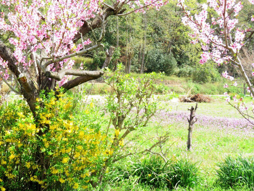 春の田舎 桃とレンギョウ
