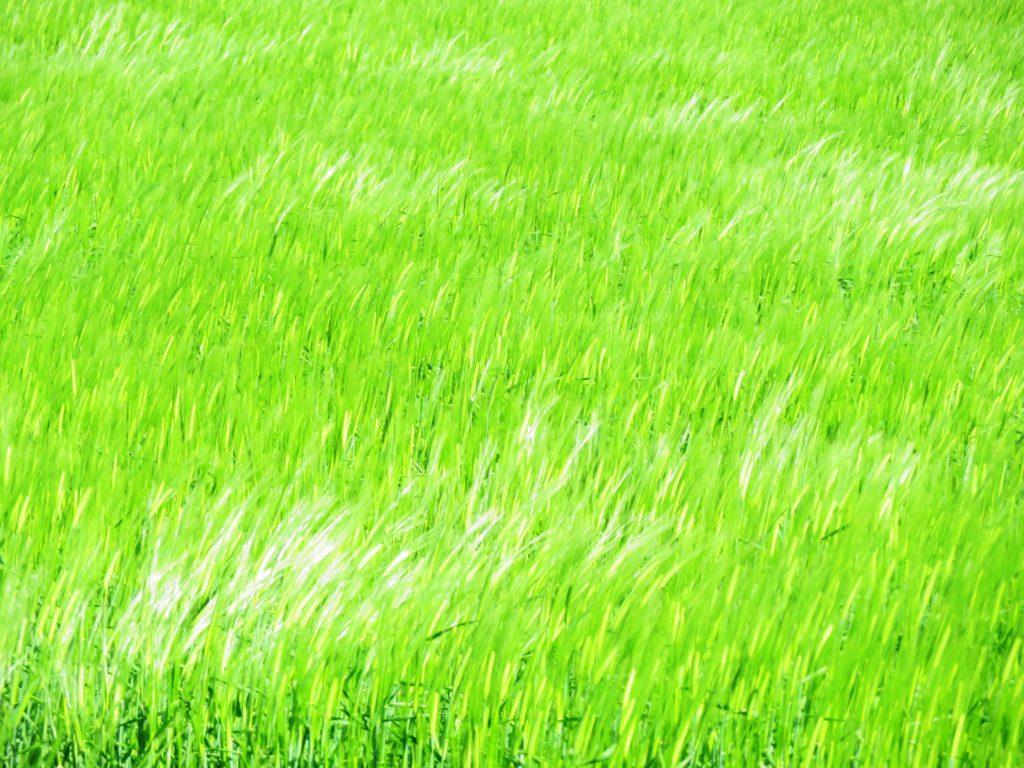 麦畑 風の形