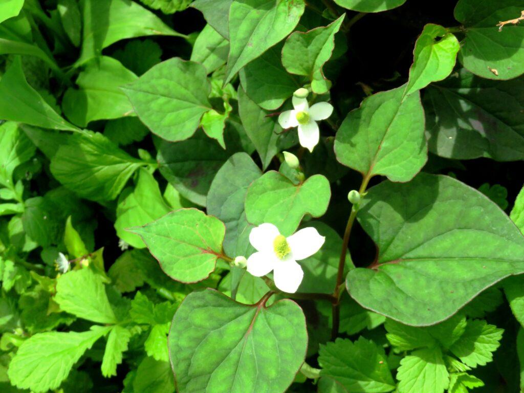 ドクダミ(蕺草)の花