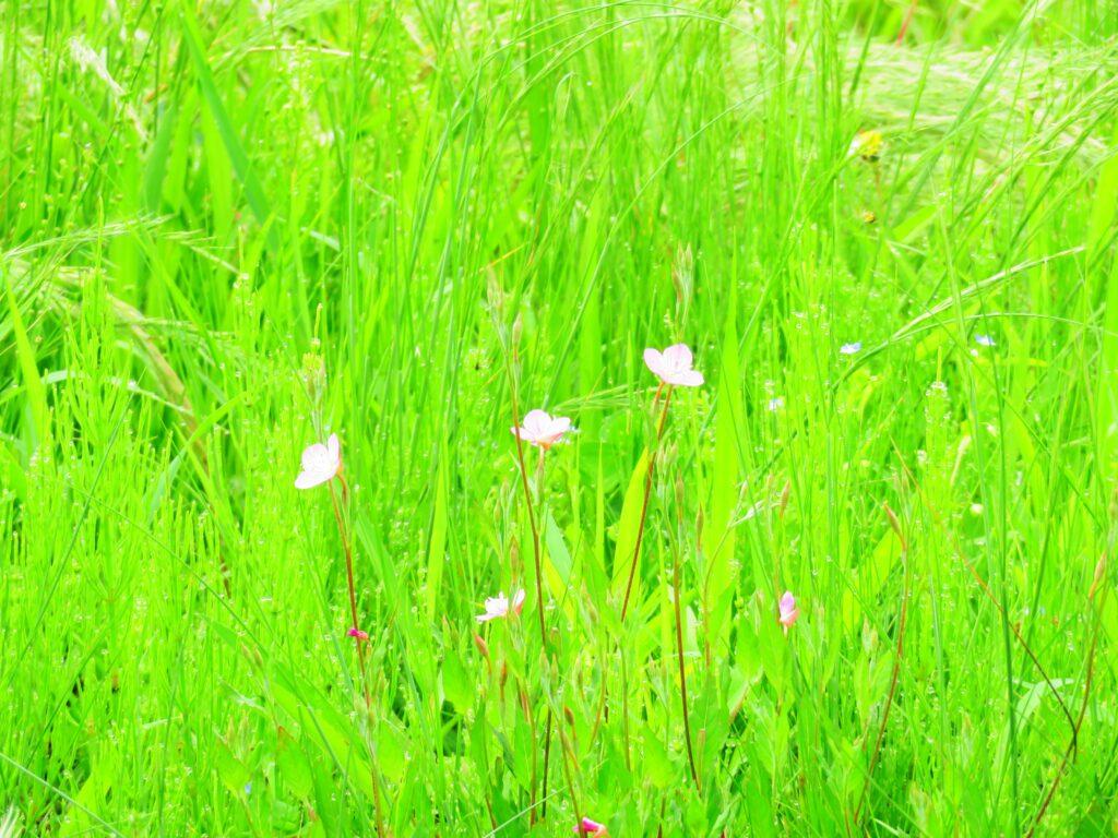 6月の草叢 ユウゲショウ(夕化粧)
