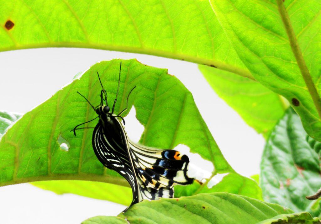 羽化したばかりのアゲハ蝶