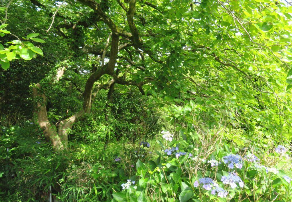 木の下闇(このしたやみ)の紫陽花