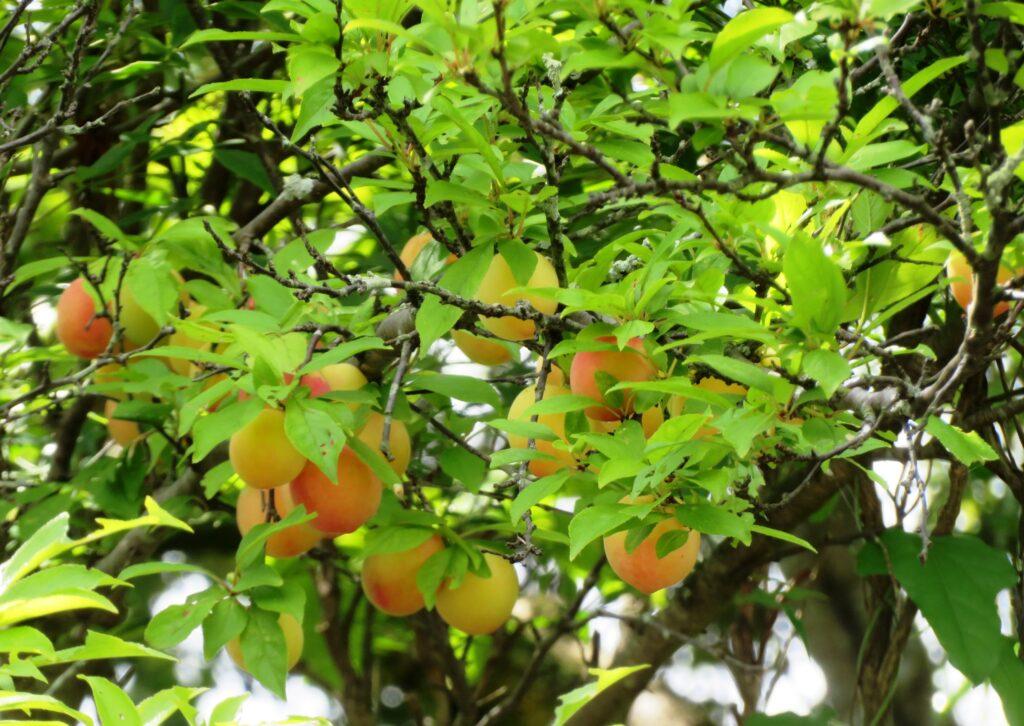 完熟した梅の実