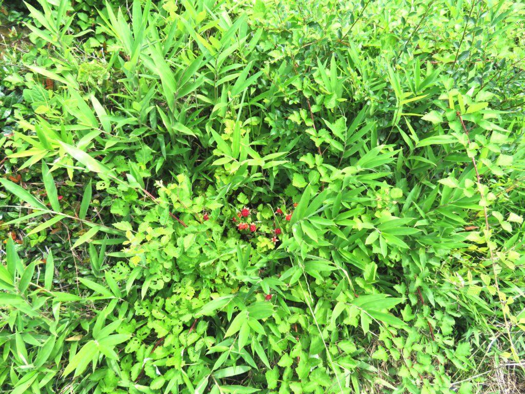 ナワシロイチゴ(苗代苺)の実