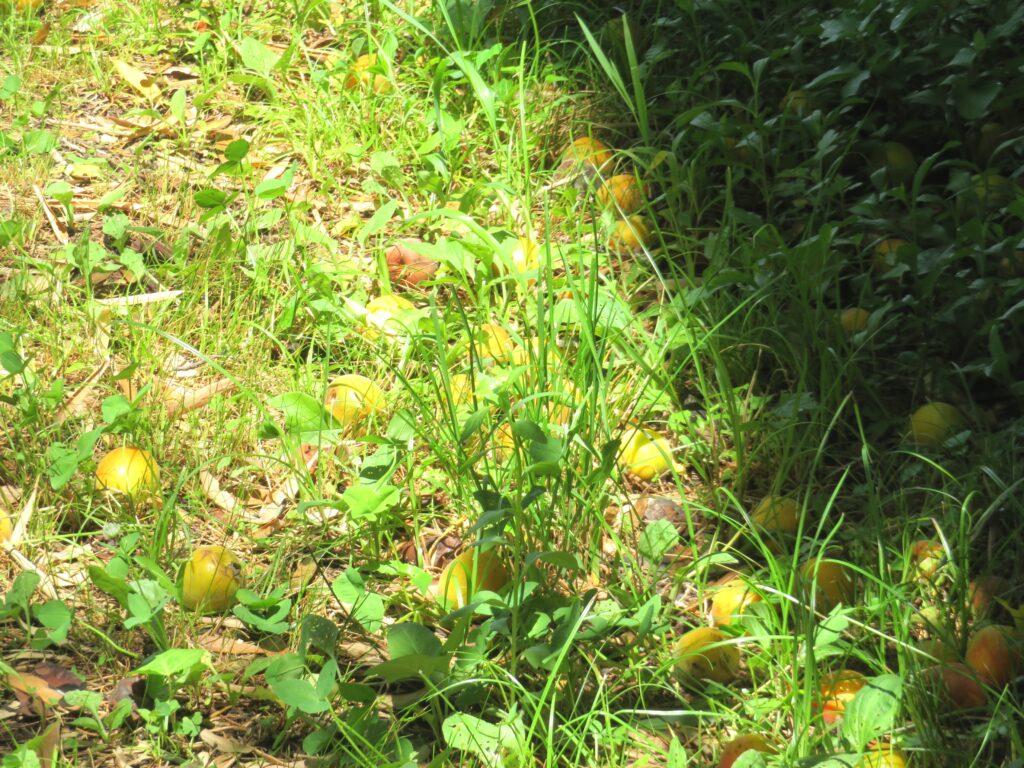 完熟して落下した梅の実