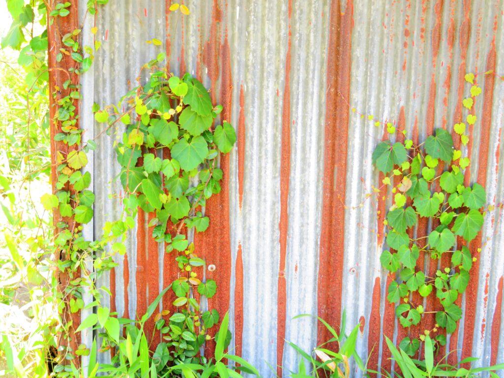 蔦と古い納屋