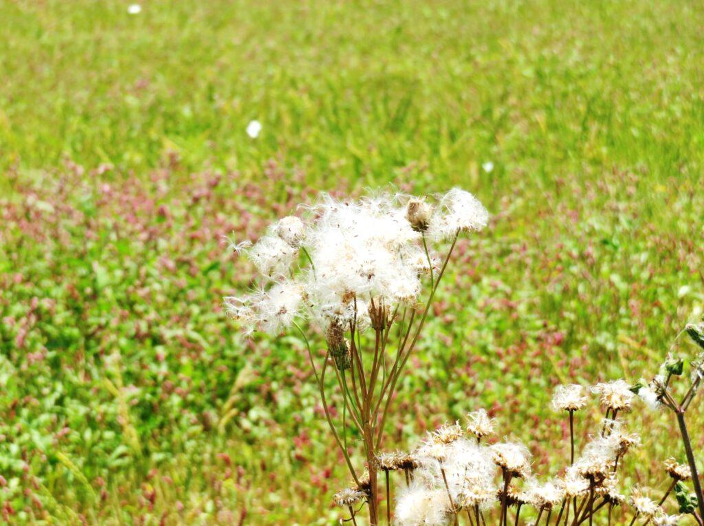 綿毛と蝶々