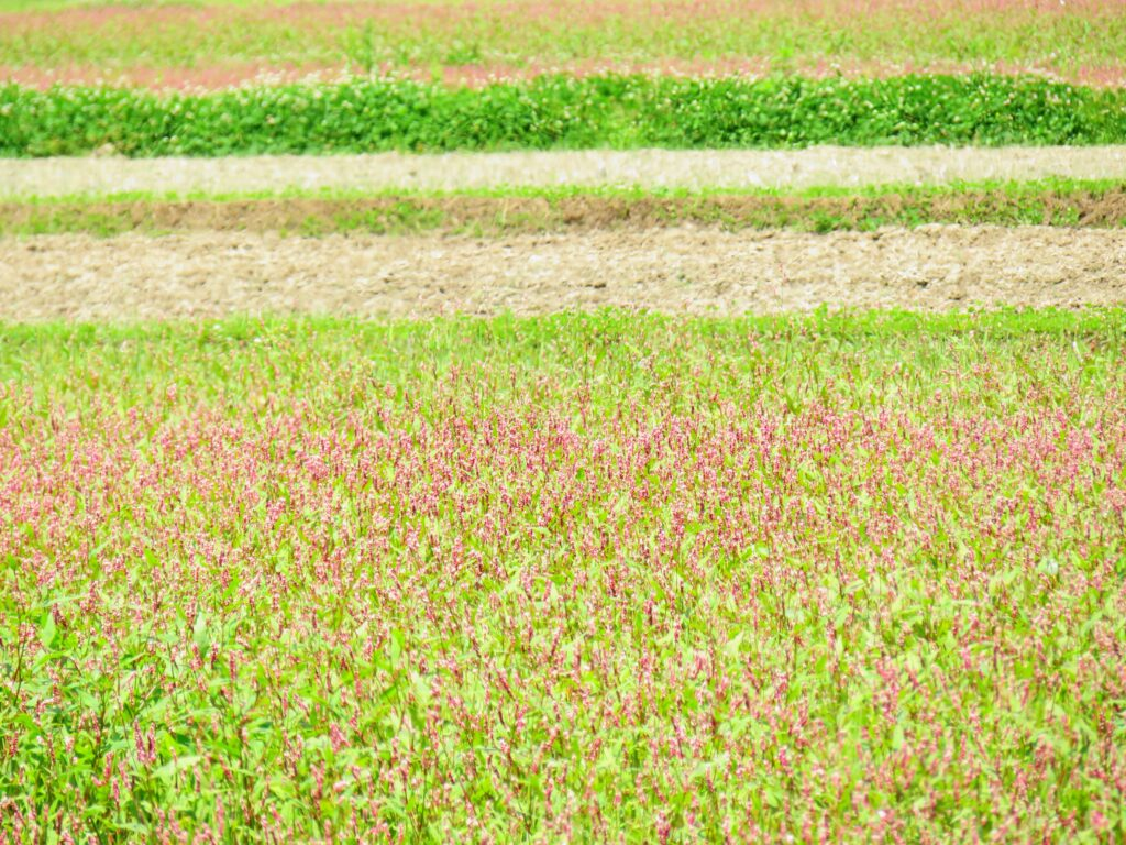 休耕田の蓼の花