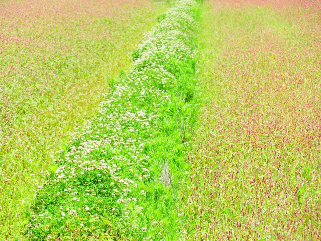 休耕田の蓼の花とシロツメクサのあぜ道