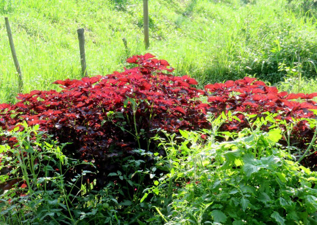 夏の畑 赤紫蘇