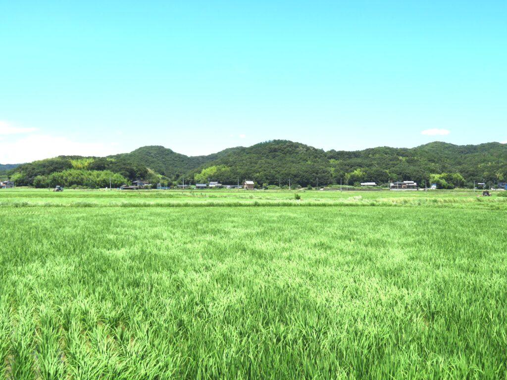 夏の田んぼ 風の形