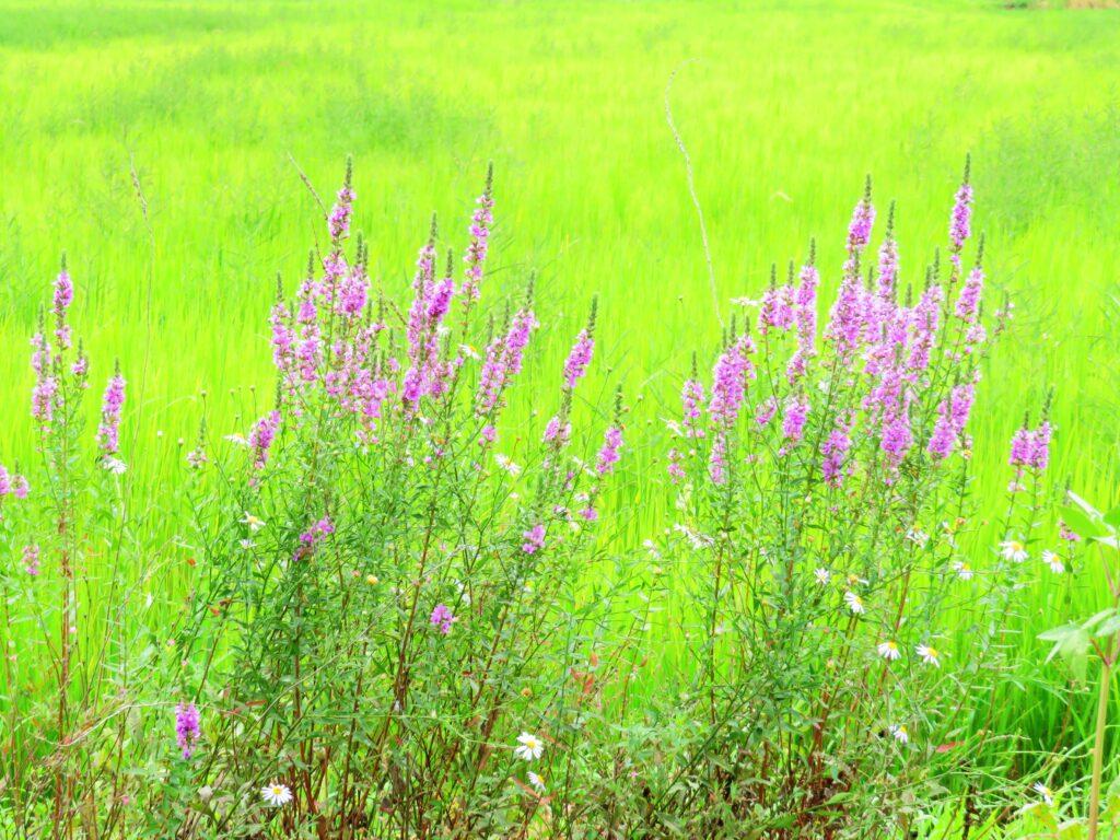 ミソハギ(禊萩)と野菊