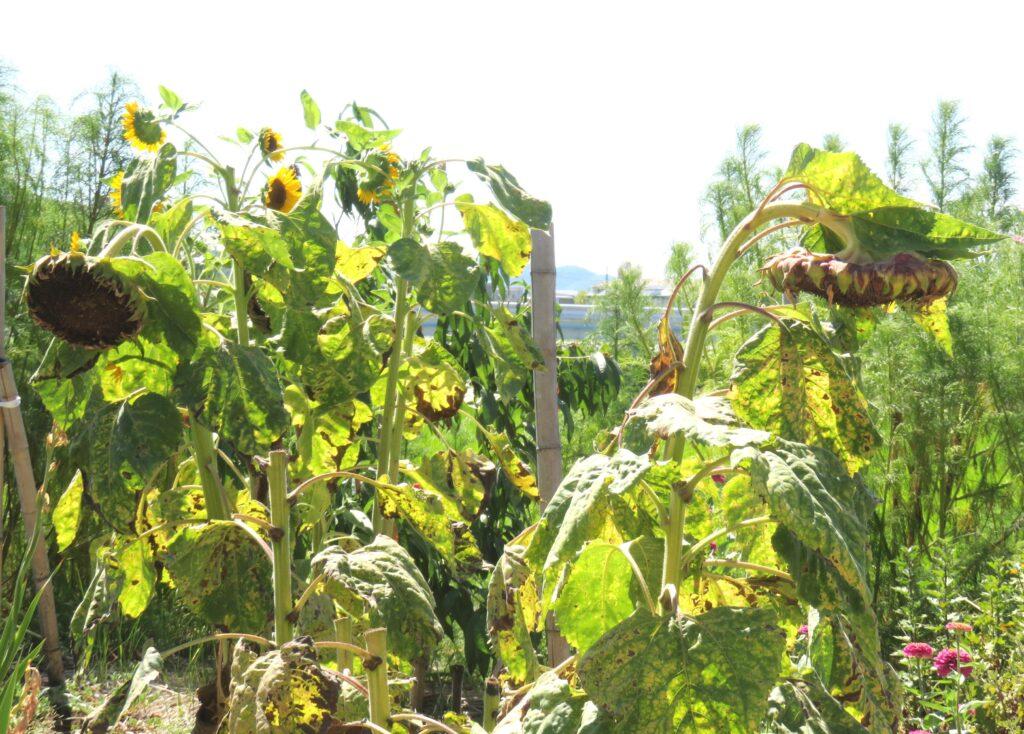 夏の終わり 向日葵