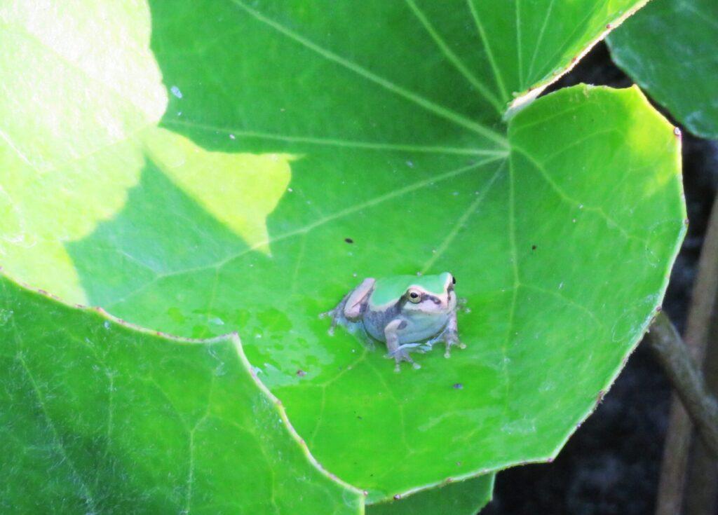 雨蛙とツワブキ