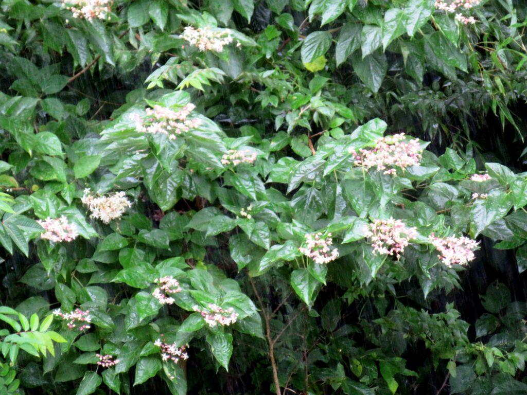 雨に打たれるクサギ(臭木)の花
