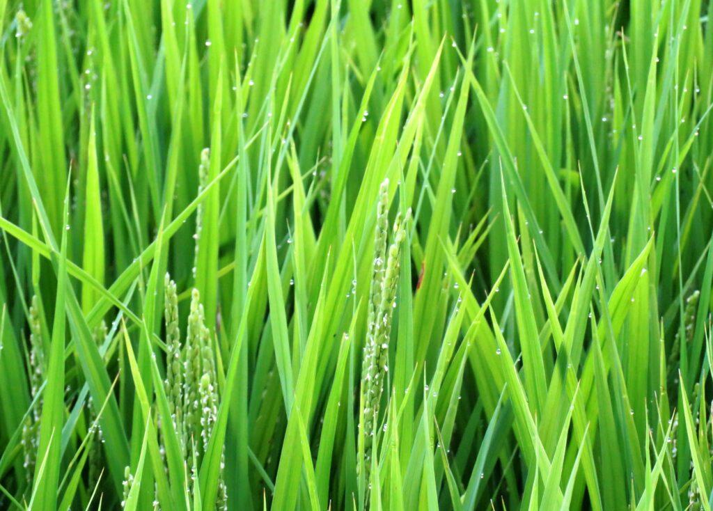 通り雨の後の稲